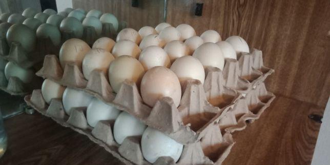 Яйцо индоутки инкубационное.