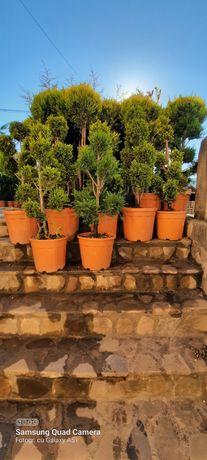 Plante ornamentale diferite dimensiuni diferite specii de bună calitat