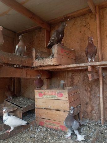 Продим голубей 500 тг