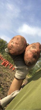 Картошка Кугалинская , породы Родриго. Вкусная чистая. Есть 2 тонны.