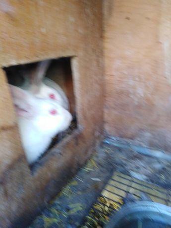 Продам домашних белых кроликов