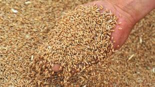 Пшеница реколта 2020