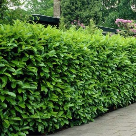 Gard viu verde (ligustrum , lemn cainesc)