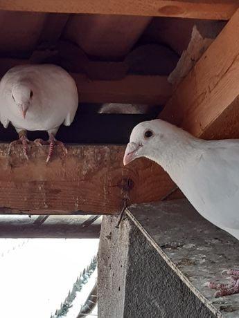 Porumbei albi voiajorii