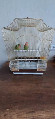 Продам двух попугаев нерозлучников