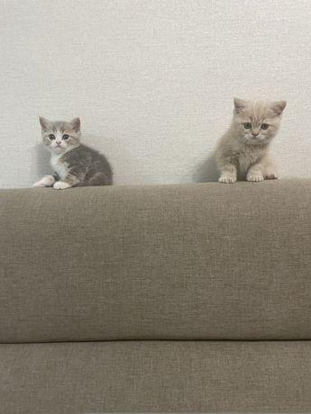 Чистокровные породистые котята