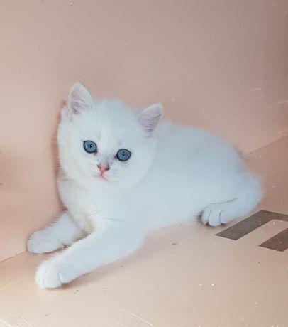 Белоснежные синеглазые котята Шиншиллы As 1233