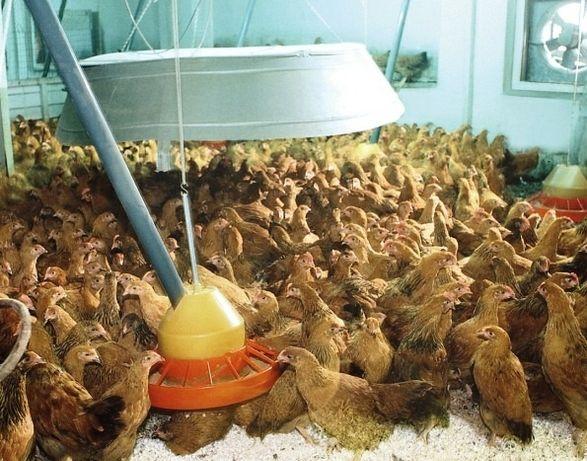 Кучинские несушки цыплята 2-х месячные оптом и в розницу