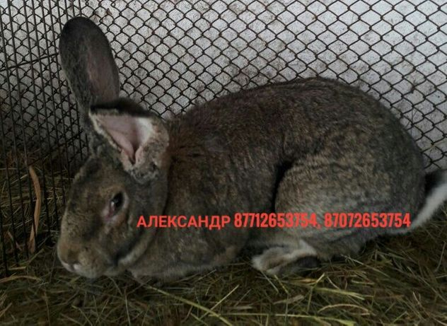 Продам молодняк кроликов породы Фландер и Французский баран