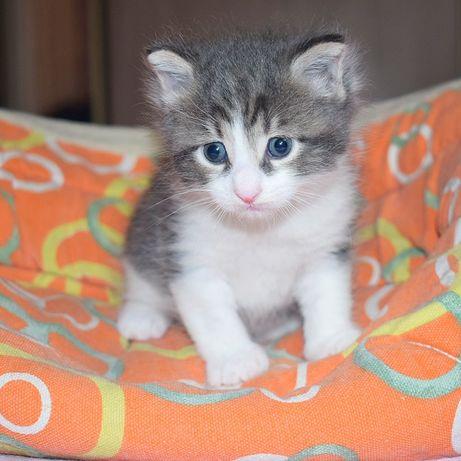Котенок редкой породы курильский бобтейл