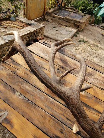 Еленови рога от благороден елен