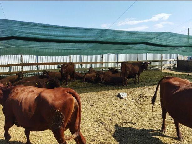 Продажа рогатого скота племенные крс бычки мрс телята