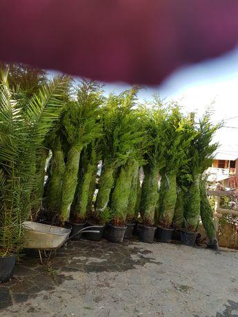Plante ornamentale o gamă foarte mare la cele mai bune preturi