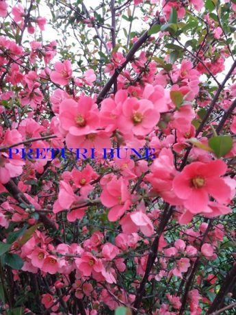 Gutui japonez . Seminte gard viu , flori rosii
