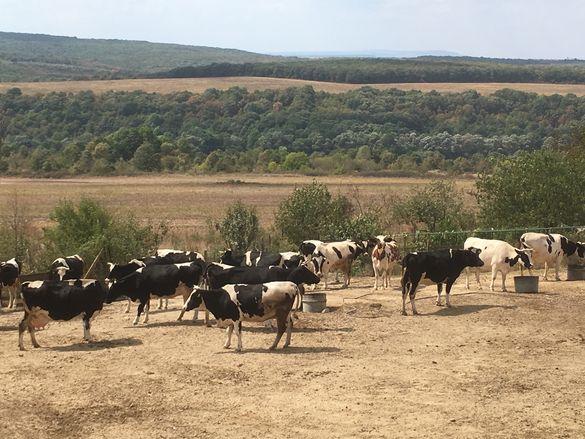 Крави , телета ,ярета и кози