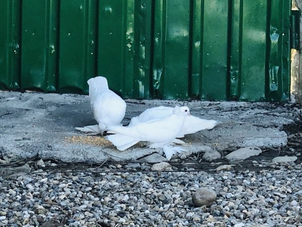Porumbei uriasi maghiari schimb