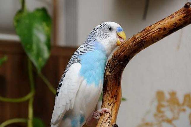 Попугаи Волнистый