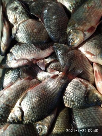 Рыба продам оптом