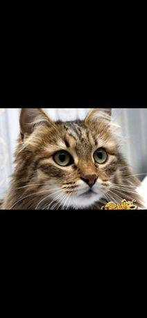Котят Котенок Кот сибирский Кошка