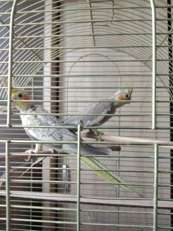 Puiuți de papagali ninfe