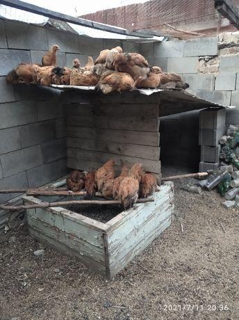 Кучинские цыплята
