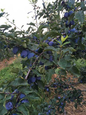 Vand prune pentru tuica si palinca