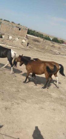 Жылқы сатамын/ Продам лошадей