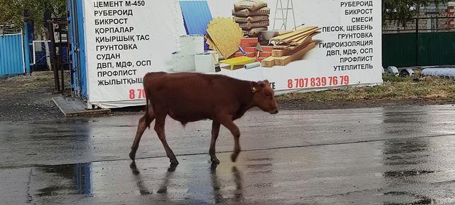 Продам теленка (бычек)