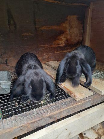 Крольчат 2 месячные