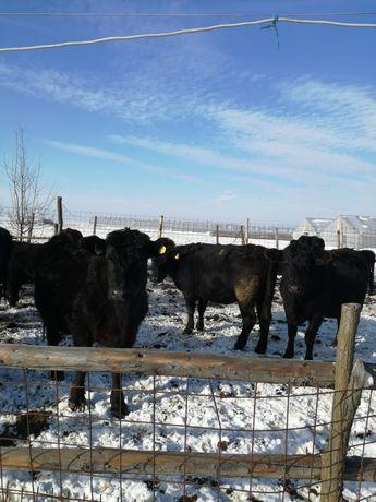 Vânzare vaci Angus
