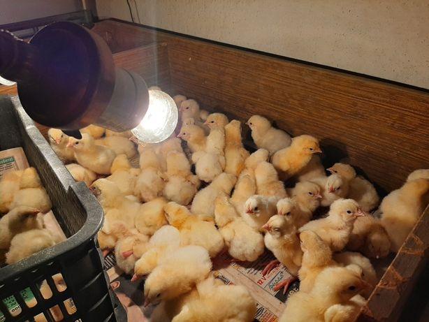 Продаются цыплята породы Бройлер