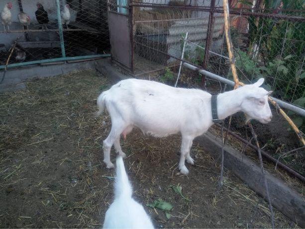 Заанинская коза молочная
