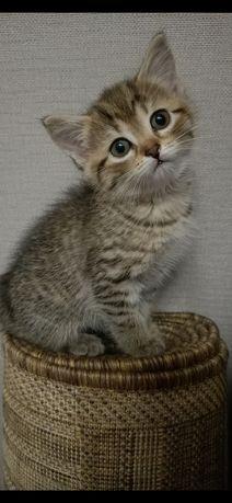 Котята Скоттиш-страйт .