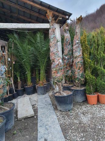 Vand palmieri .pret de producator