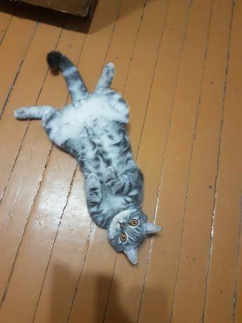 Кот на вязку скотиш страйт