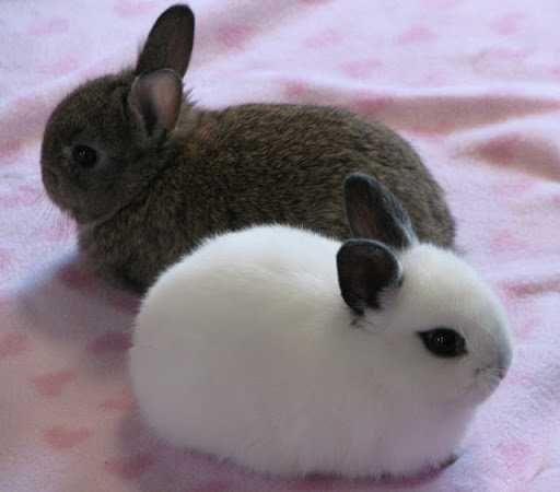 Кролики Декоративные Ука