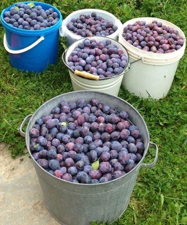 Продам сливу и виноград