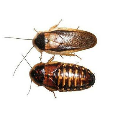 Хлебарки Blaptica dubia