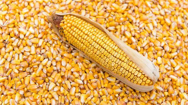 Кукуруза в зерне