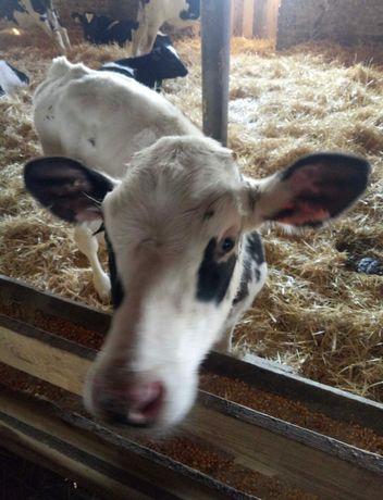Крс бички телята тёлки коровы бузау ангус симентал голштын нители