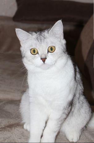 Ищем кота на вязку. Срочно
