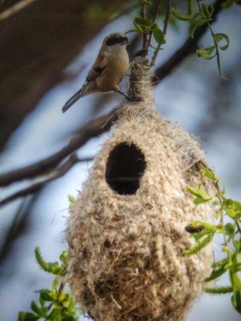 Гнездо ремеза продам