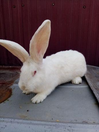 Кролик, самец белый великан