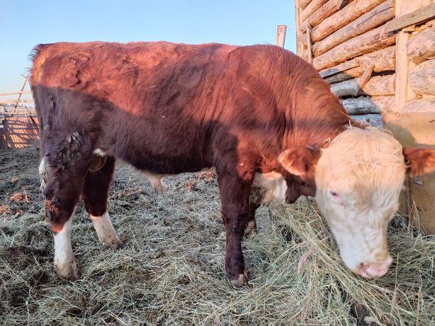 Продам быков  и телок