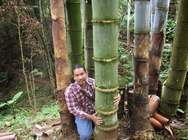 DENDROCALAMUS GIGANTEUS - Bambus urias ! -  o planta de 1 an