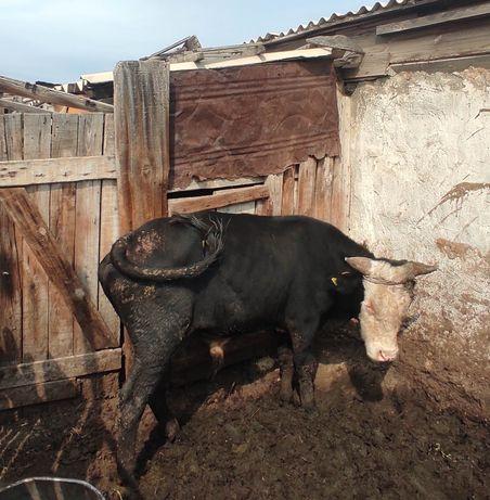 Продам быка село Калкаман