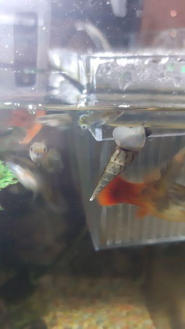 Vand melci acvariu