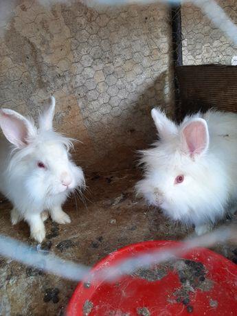Vand iepuri albi