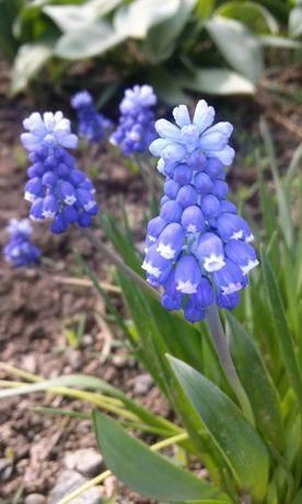 Многолетние весенние цветы,Мускари-10-15 луковиц,