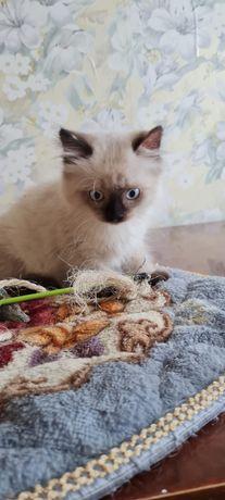 Сиамские котята-мальчики срочно ищут хорошую семью